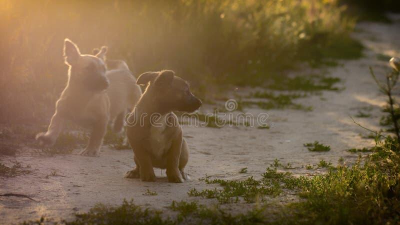Маленькие щенята шавки играют в луге стоковая фотография
