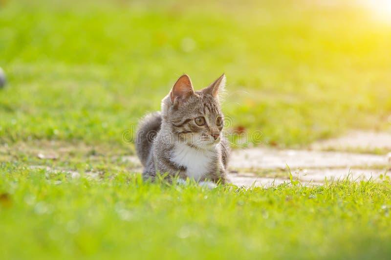 Маленький великобританский котенок идет на зеленую траву стоковые фото