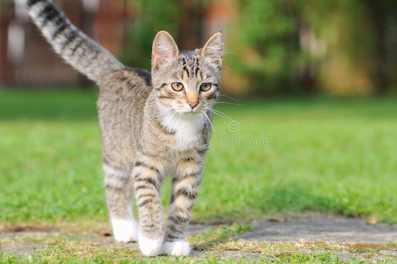 Маленький великобританский котенок идет на зеленую траву стоковая фотография