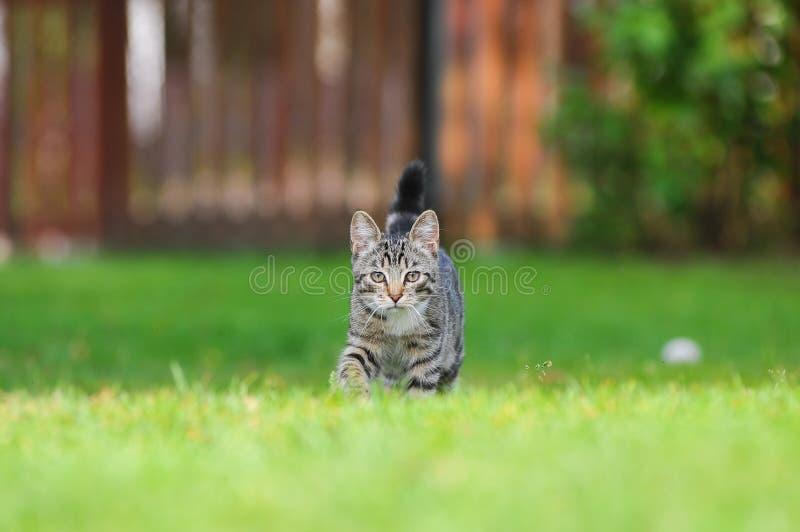 Маленький великобританский котенок идет на зеленую траву стоковые изображения