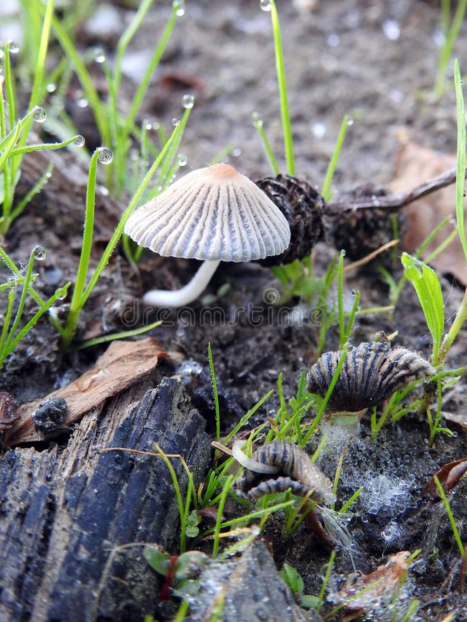 Маленький гриб весной, Литва стоковая фотография rf