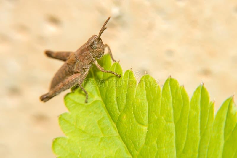 Маленький коричневый кузнечик сидит на зеленых лист стоковые изображения rf