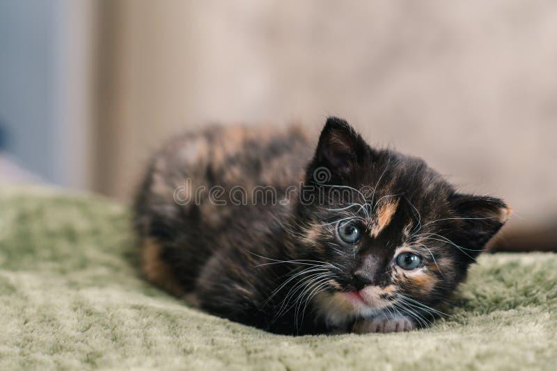 Маленький красивый черный кот с белыми и красными пятнами и голубыми глазами лежа на зеленом половике стоковые изображения rf