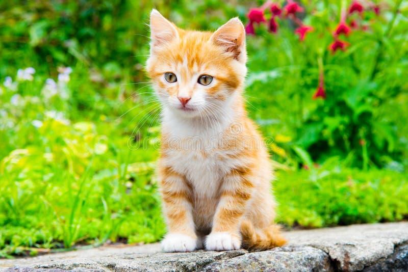 Маленький красный котенок стоковое изображение rf