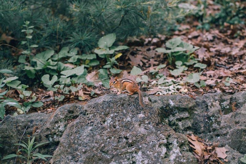 Маленький крошечный чипмунк, сидящий на каменной земле в лесу стоковое фото