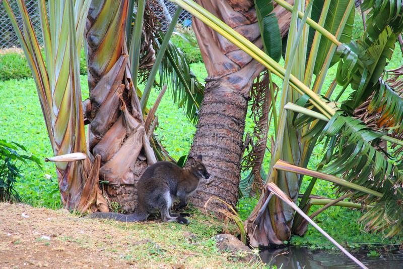 Маленький милый кенгуру живет в удивительном природном парке Касела, остров Маврикий, Африка стоковые фото