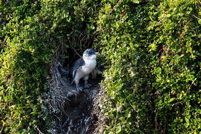 Маленький пингвин наслаждаясь солнцем на входе гнезда на острове Филиппа, Виктории, Австралии стоковая фотография rf