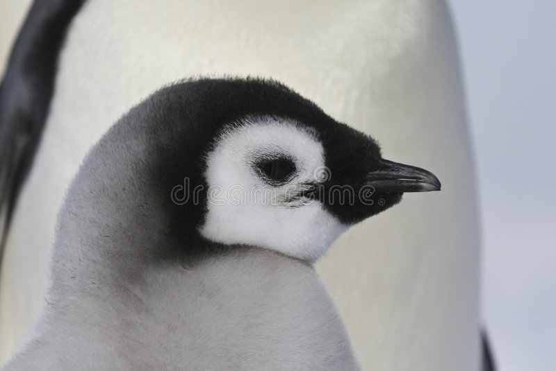маленький пингвин стоковое изображение rf