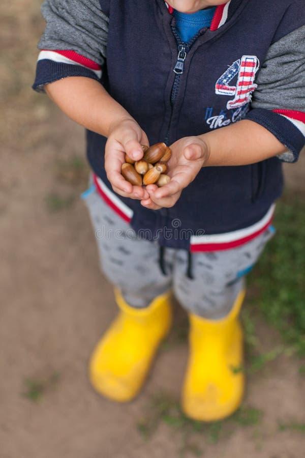 Маленький ребенок держит жолуди на его малых руках стоковые фотографии rf