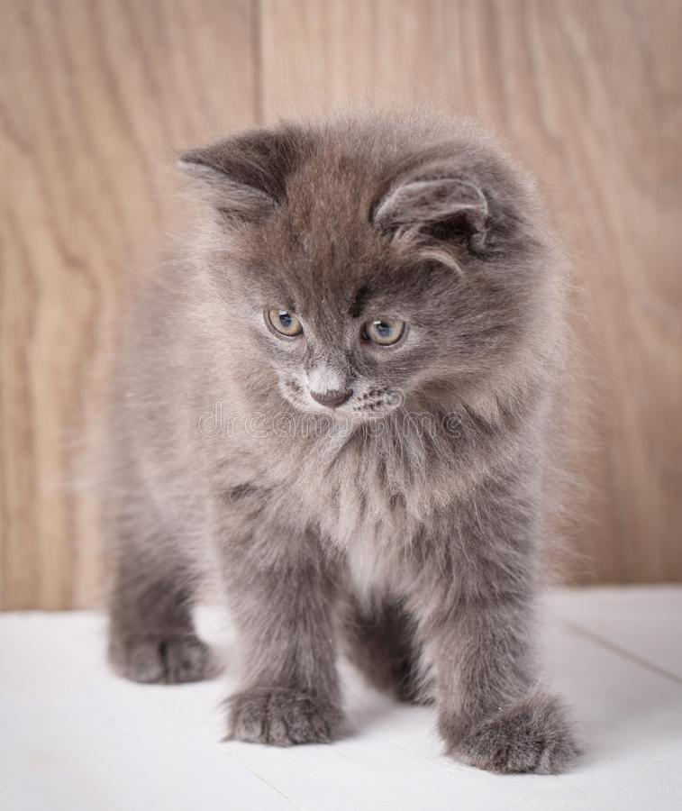 Маленький серый котенок стоит на досках стоковое изображение rf