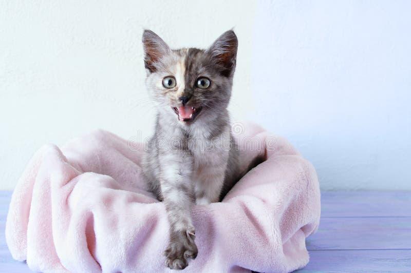 маленький серый котенок с открытым ртом сидит на розовой платке На фоне белой стены стоковые изображения rf