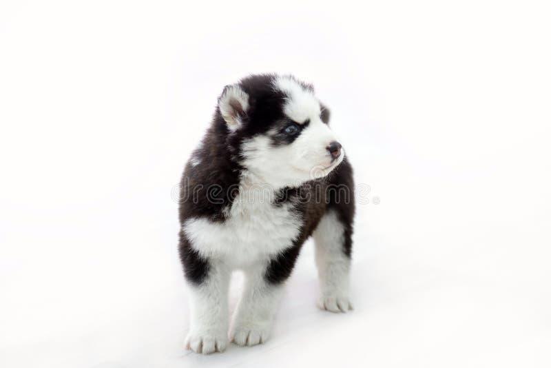 Маленький сиплый изолированный щенок стоковое изображение rf