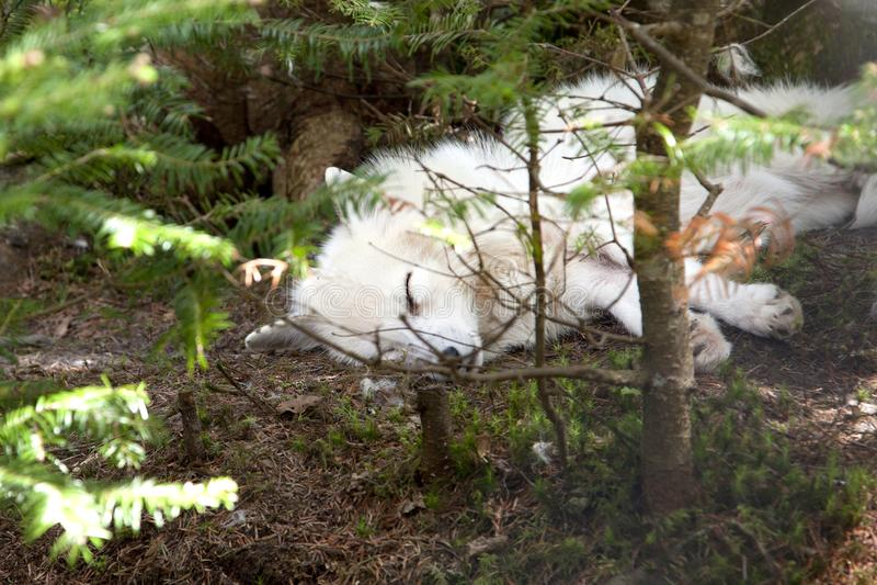Маленький спать белой лисы стоковые фотографии rf