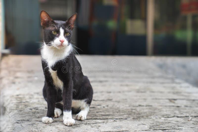 Маленький черный кот при белый кот помех метки воротника сидя на жулике стоковые фотографии rf