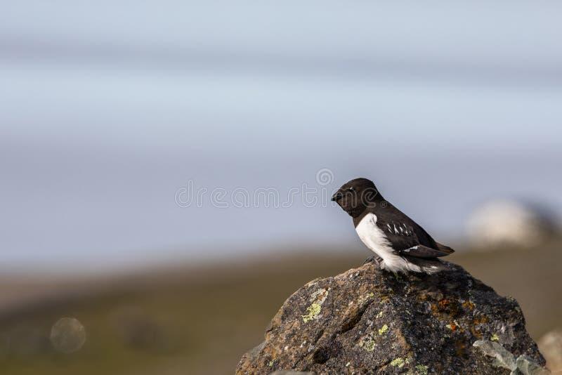 Маленький чистиковые, alle Alle, сидя на утесе в Шпицбергене, Свальбард, Норвегия стоковые фотографии rf