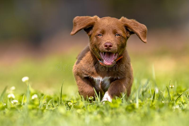 Маленький щенок бежать с ушами flapping стоковая фотография rf