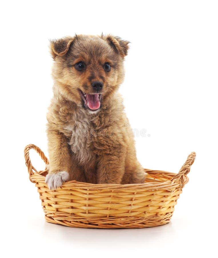 Маленький щенок в корзине стоковое фото