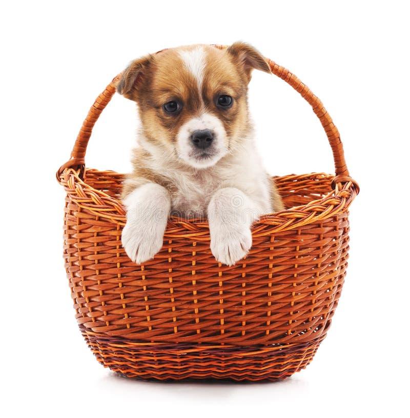 Маленький щенок в корзине стоковые фото
