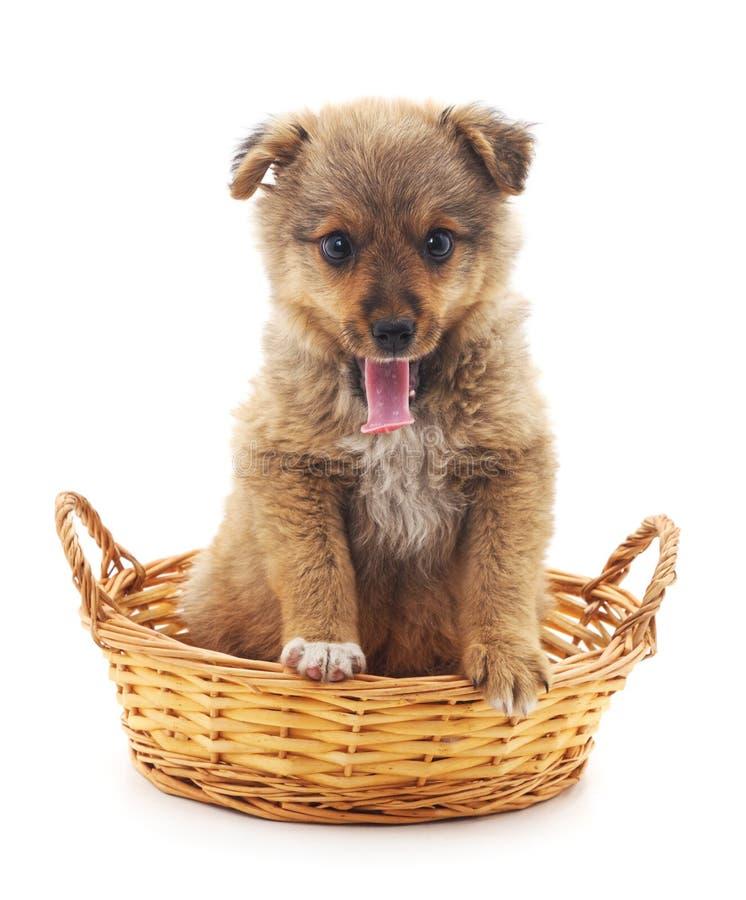 Маленький щенок в корзине стоковое изображение rf