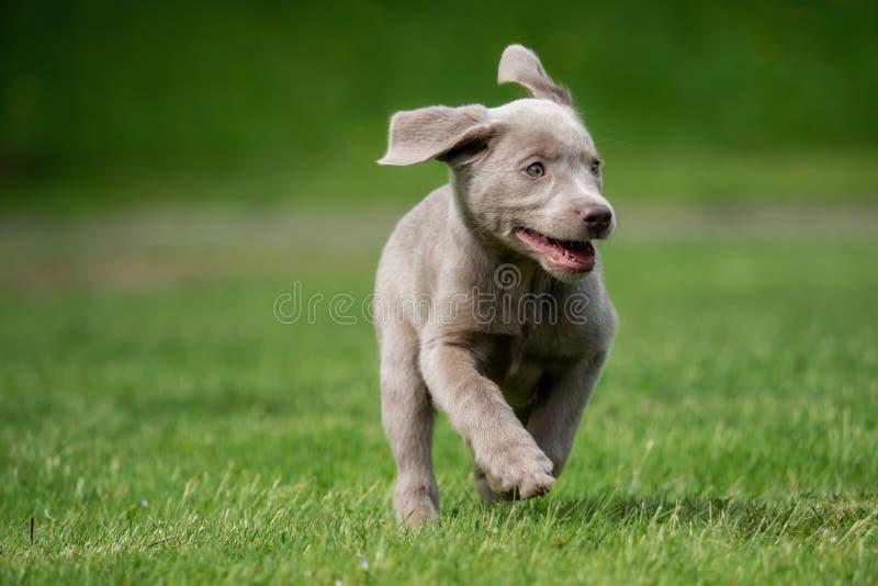 Маленький щенок labrador играет снаружи стоковые изображения