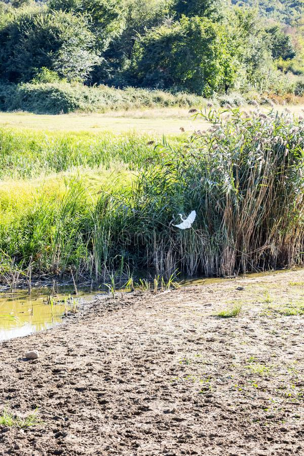 Маленький egret в полете в топь около озера Kerkini, Греции стоковое фото rf