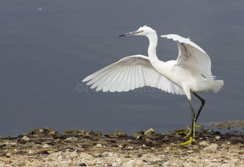 Маленький Egret стоковое изображение