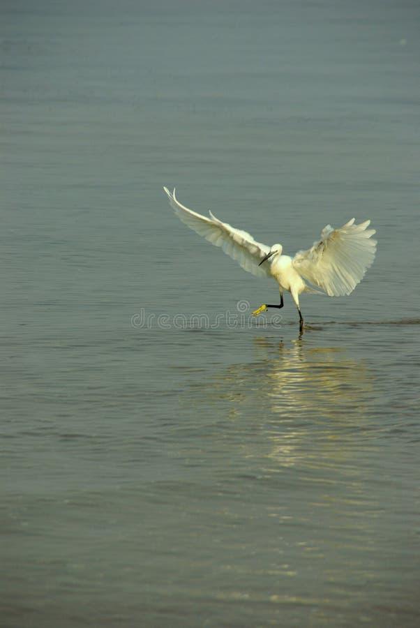 Маленький Egret стоковые фотографии rf