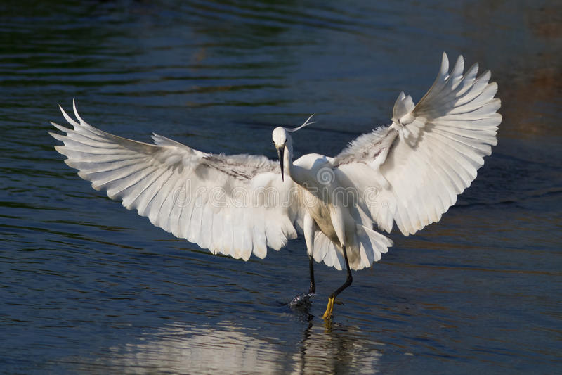 Маленький egret (garzetta Egretta) стоковая фотография rf