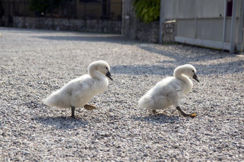 2 маленьких дет лебедя идя на каменистый путь стоковые изображения rf