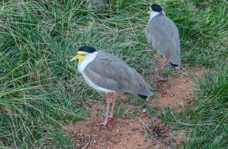 2 маленьких птицы Lapwing солдата На том основании, среди зеленой травы, 2 птицы Черные и желтые голова и шея Найденный в Aus стоковые изображения rf