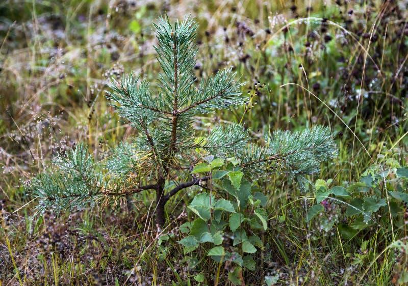Маленькое зеленое сосны покрыто дождевыми капельками стоковое изображение rf