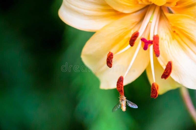 Маленькое насекомое есть нектар от тычинки ` s цветка против зеленой предпосылки стоковые изображения