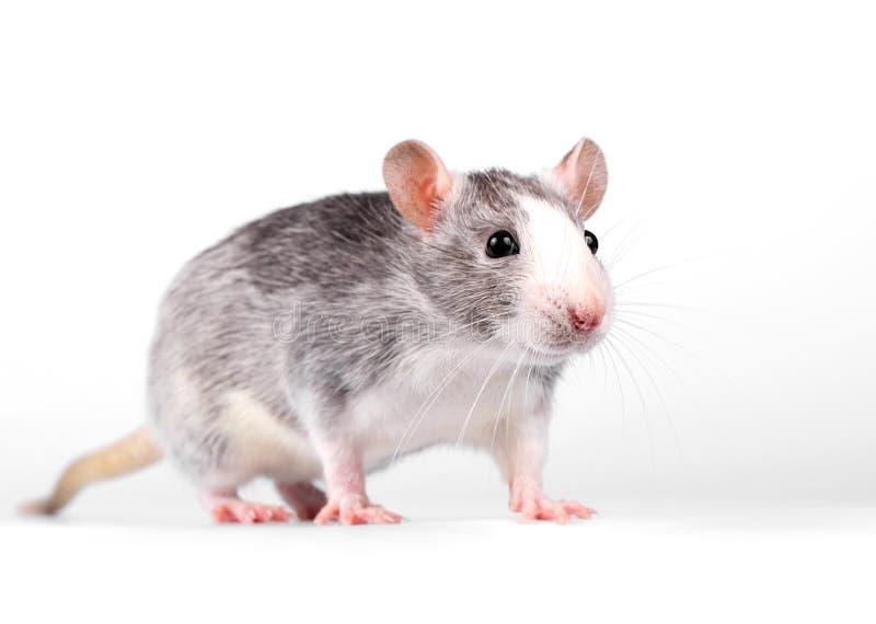 Маленькое положение крысы на белом конце-вверх предпосылки стоковые изображения rf