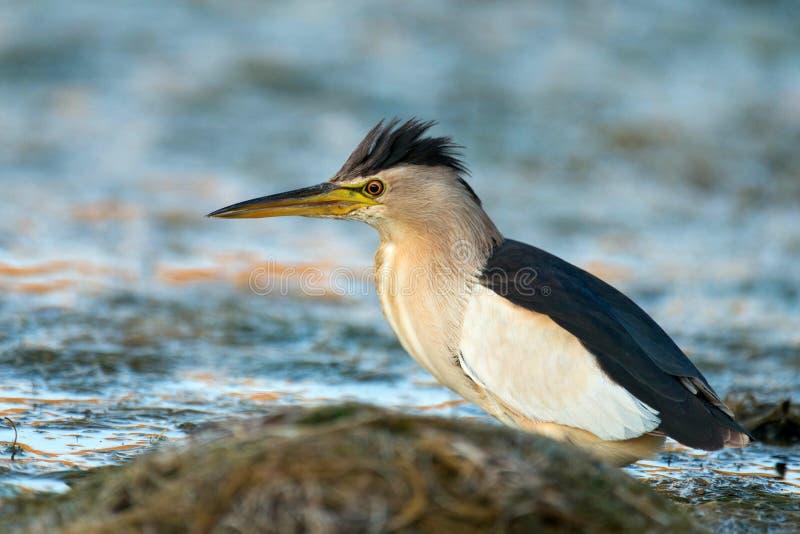 Маленькое minutus Ixobrychus выпи стоя в воде и ища еда стоковое фото