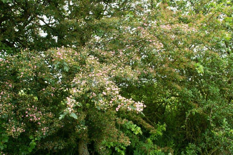 Малое розовое растущее цветков боярышника в английской живой изгороди стоковые фотографии rf