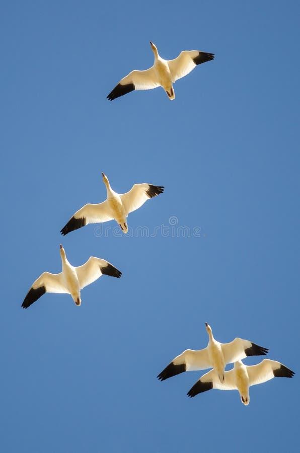 Малое стадо гусынь снега летая в голубое небо стоковое фото