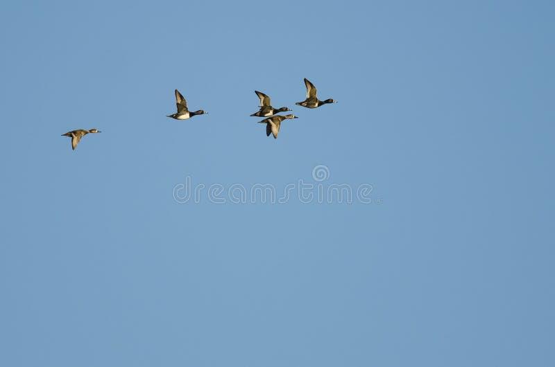 Малое стадо Кольц-Necked уток летая в голубое небо стоковое фото rf