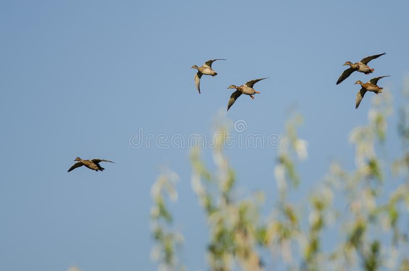 Малое стадо кряквы Ducks летание в голубом небе стоковые фотографии rf