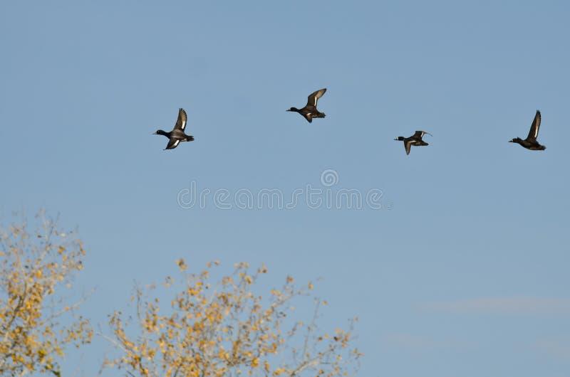 Малое стадо уток летая низко над верхними частями дерева стоковая фотография