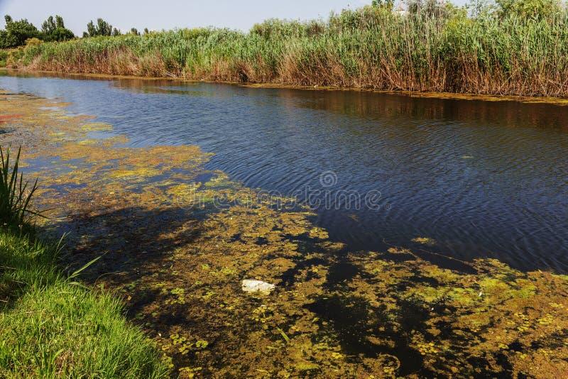 Малое умирая река было перерастано с заводами болота Загрязнение окружать колеблет, быстрый рост водорослей экологическая проблем стоковое изображение