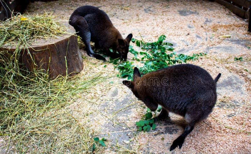 Малое kangooroo ест зеленые листья стоковое изображение rf
