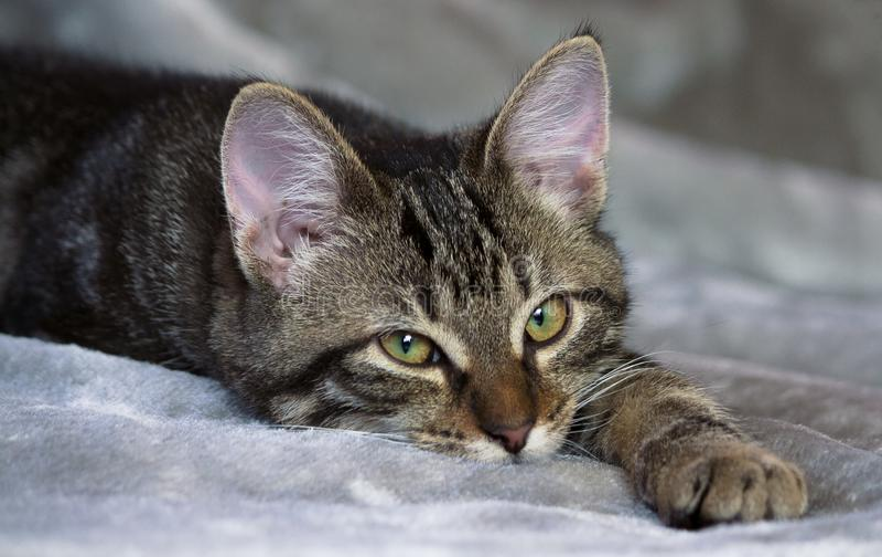 Малой котенок striped шавкой лежит на сером половике, сонном стоковые фотографии rf