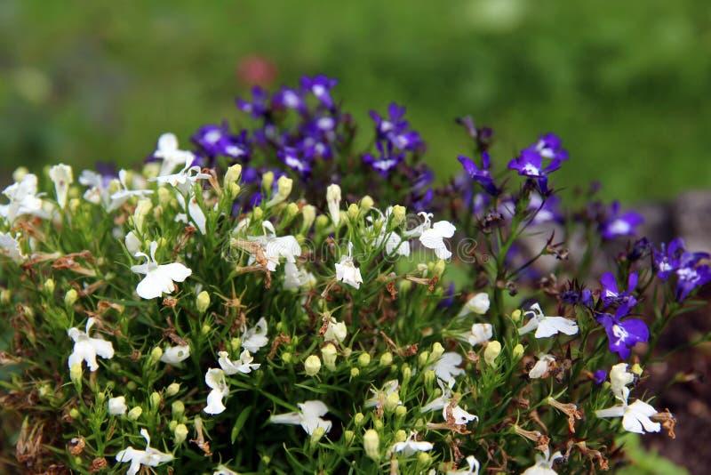 Малые белые и фиолетовые цветки стоковые фото