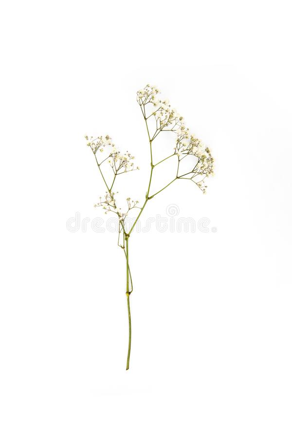 Малые белые цветки на хворостине стоковая фотография rf