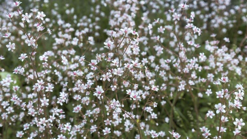 Малые белые цветки с яркой розовой серединой на motley запачкали предпосылку цветника стоковые фотографии rf