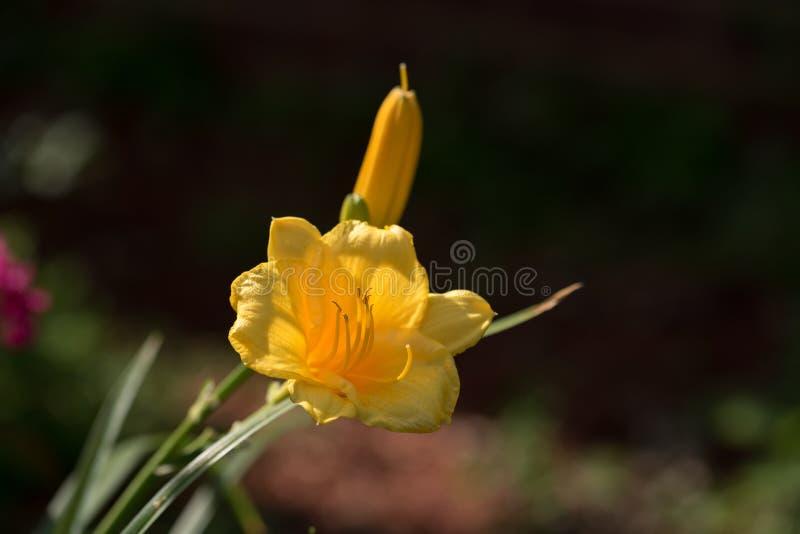 Малые желтые цветене лилии и бутон Sidelit к Солнце стоковые фото