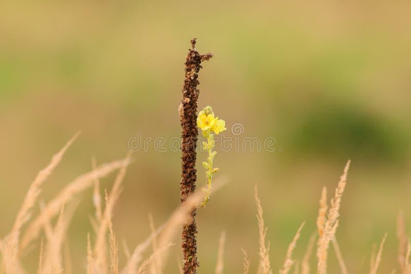 Малые желтые цветки в луге на заходе солнца стоковое фото