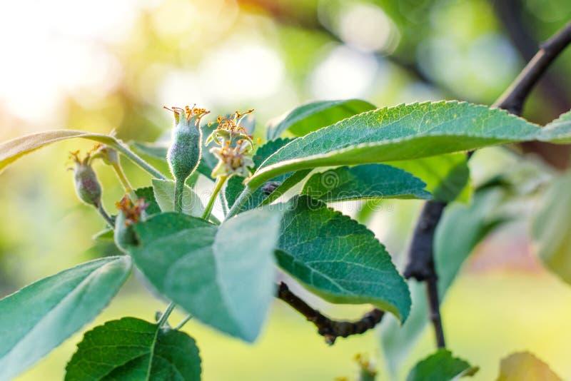 Малые молодые яблоки завязи Концепция садовничать, DIY, растущего плодоовощ без GMO, naturalness и общего назначения стоковая фотография rf