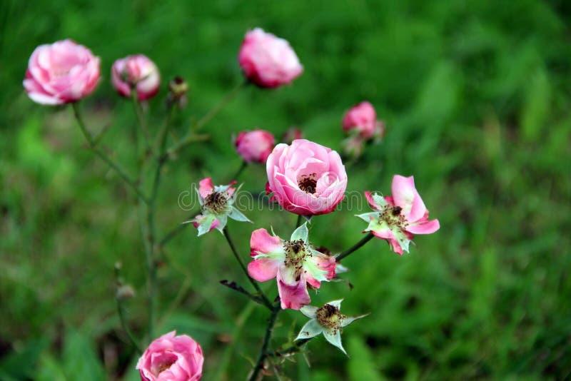Малые розовые цветки на траве стоковые изображения