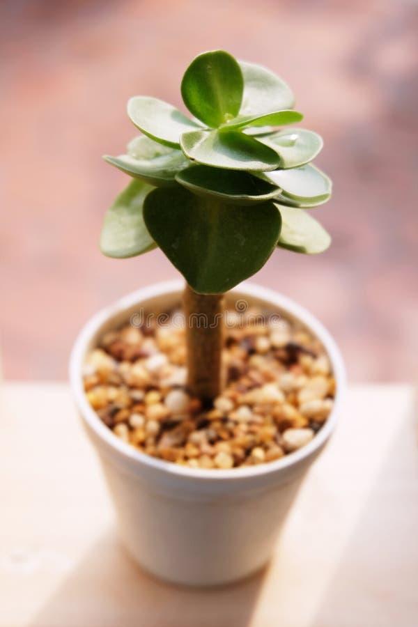 Малые суккулентные горшечные растения декоративные на деревянном окне с светом утра теплым стоковые фото